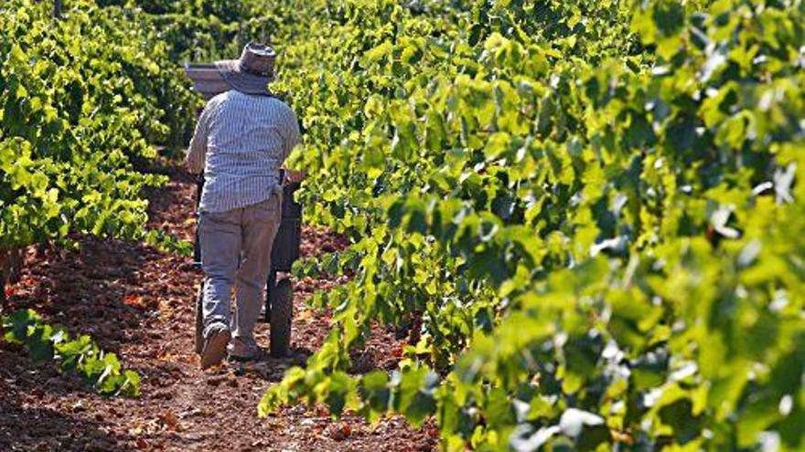 Warum Kolumbianer bei der Weinlese auf Mallorca helfen