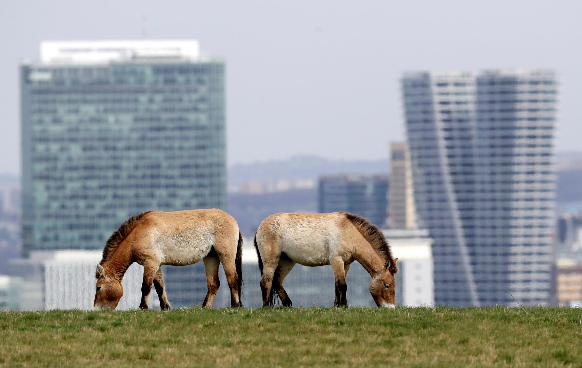 Animales del zoo de Praga pastan con los rascacielos al fondo