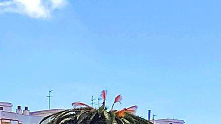 Los vecinos de San Isidro denuncian la presencia de picudo rojo