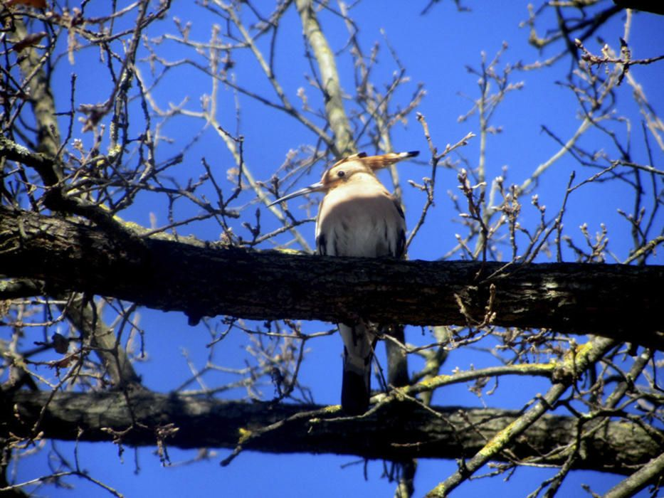 Puput. Fotografia enviada per un lector on podem veure un puput descansant a les branques d'un arbre del parc del Bosquet de Sant Fruitós de Bages
