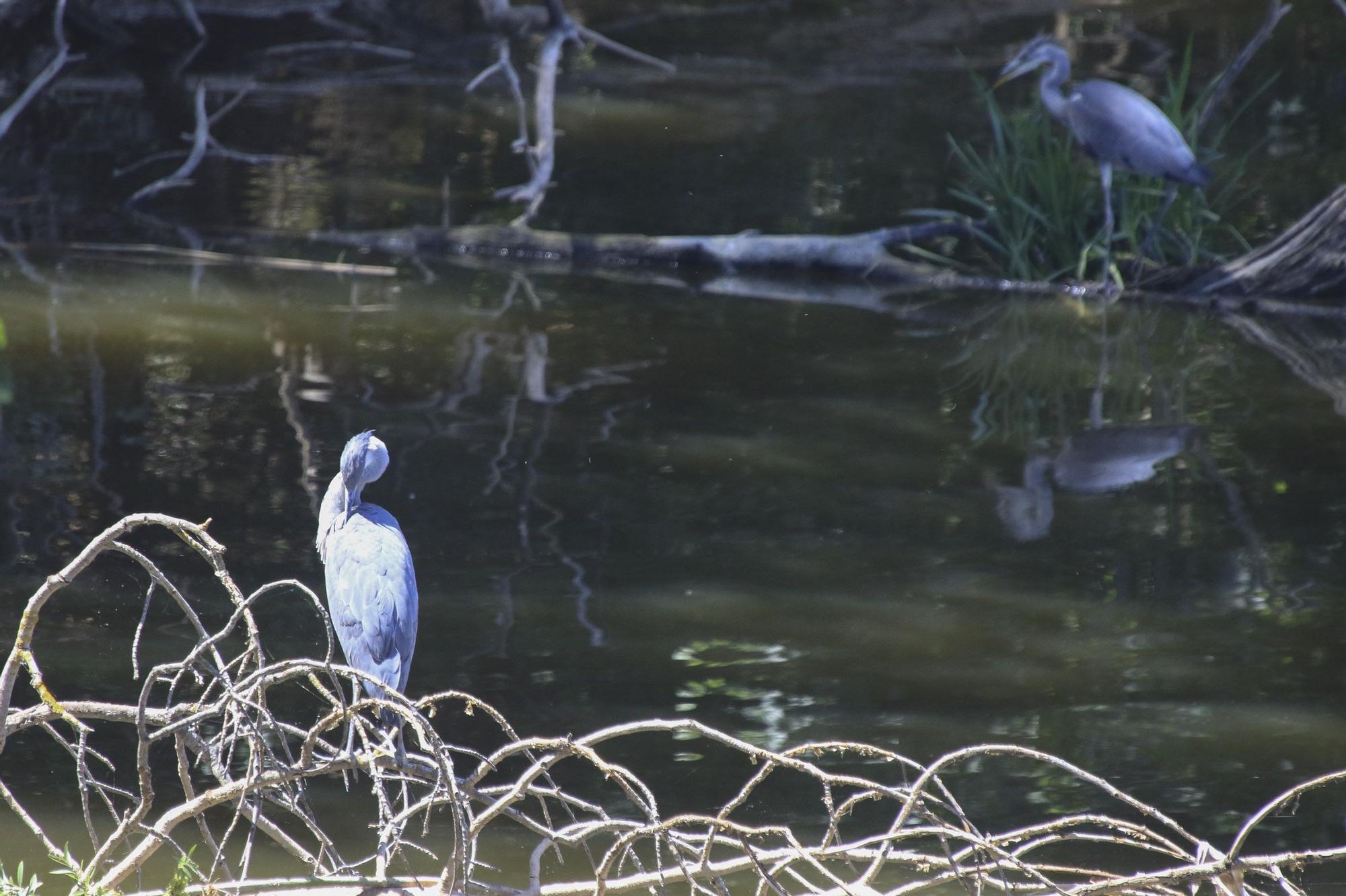 Zamora | Las aves del Duero, en peligro