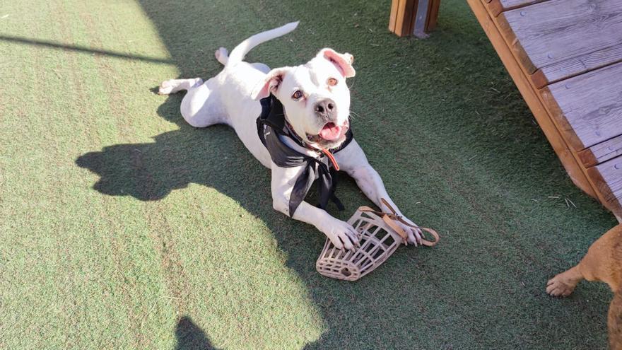 Perros de razas PPP abandonados que esperan adopcion