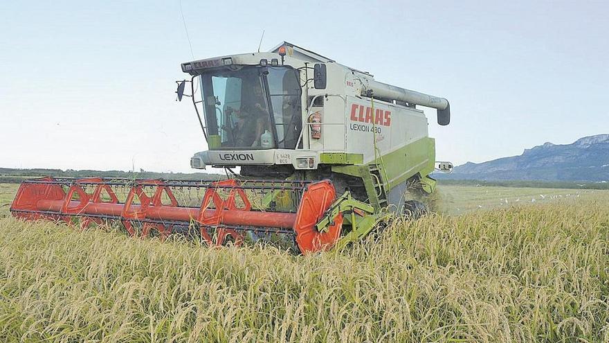 El arroz de Pego, uno de los más sanos de Europa por su bajo contenido en arsénico