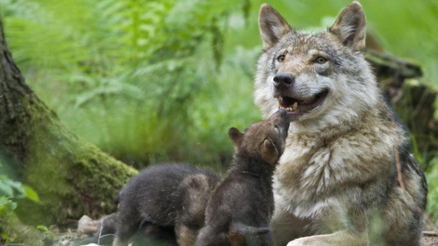 Matan a tiros a un lobo que participaba en un estudio sobre la especie en Madrid