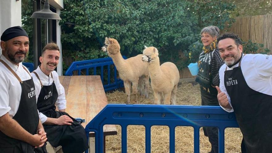 Pasarela de alpacas para ayudar a la población de Ibiza