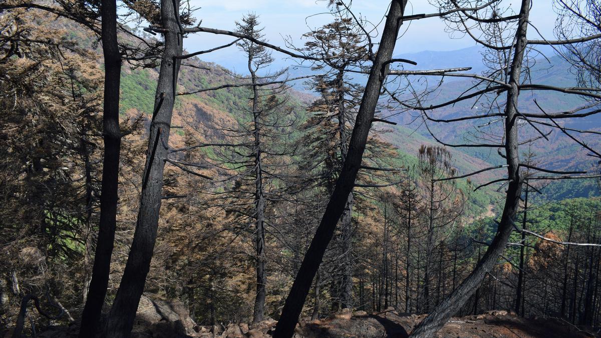 Pinsapos afectados por el incendio de Sierra Bermeja