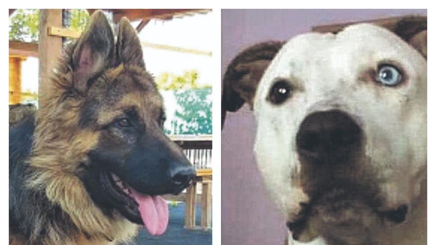 Un año de búsqueda incansable de perros robados en Algemesí y Sueca