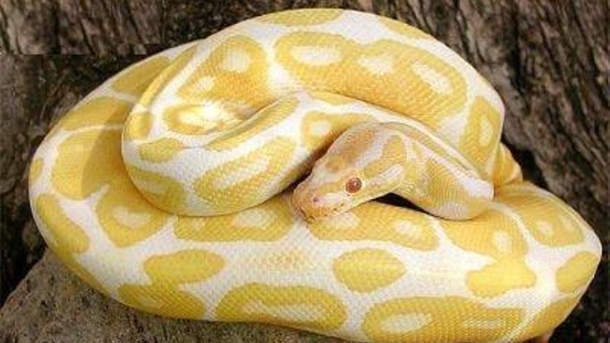Ausgebüxte Albino-Python in Llucmajor gefunden