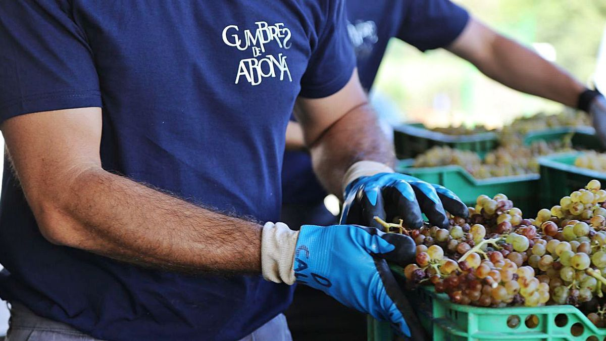 Un momento de la selección de uva