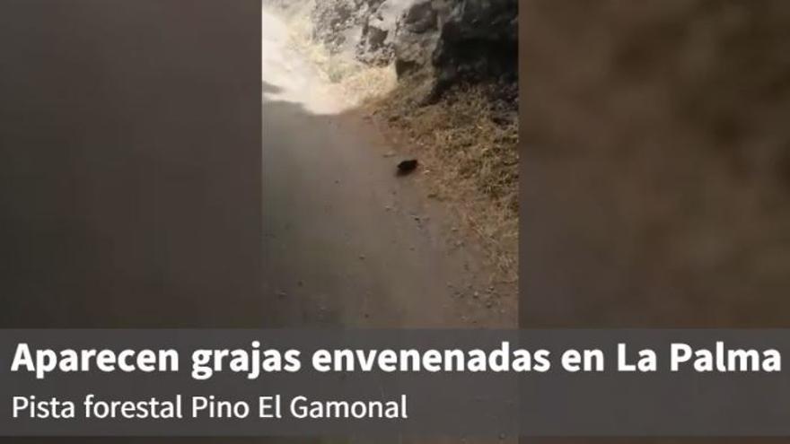 Vídeo en el que se observan grajas agonizando presuntamente envenenadas en La Palma