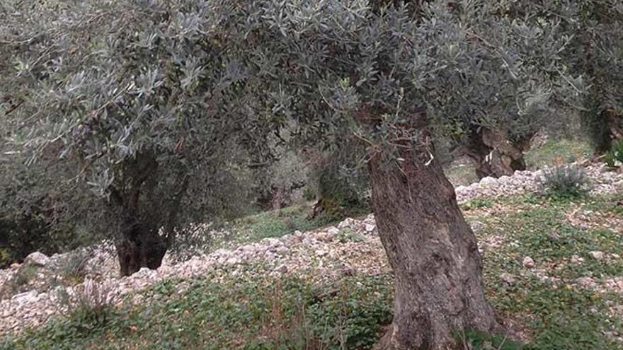 La 'xylella fastidiosa' amenaza un 95% de la producción europea de olivos