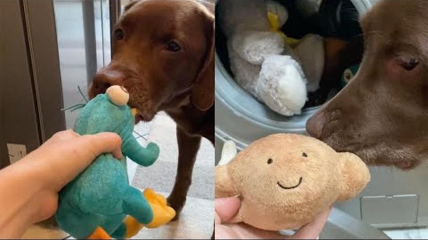 Aquest gos fa tot el possible per evitar que les seves joguines vagin a la rentadora