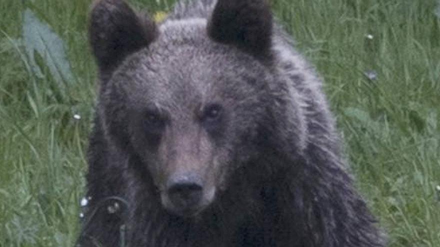 """""""Hay que perder el miedo a intervenir"""" con osos problemáticos, piden los expertos"""