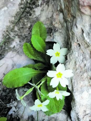 'Primavera blanca baleàrica' (Primula acaulis ssp. balearica).