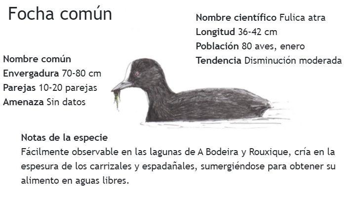 Ficha informativa sobre la focha común elaborada por el PIO de O Grove.