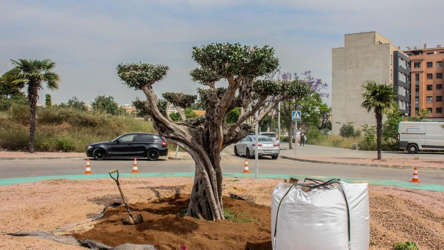 Un vecino de Torrent dona un olivo centenario para una rotonda