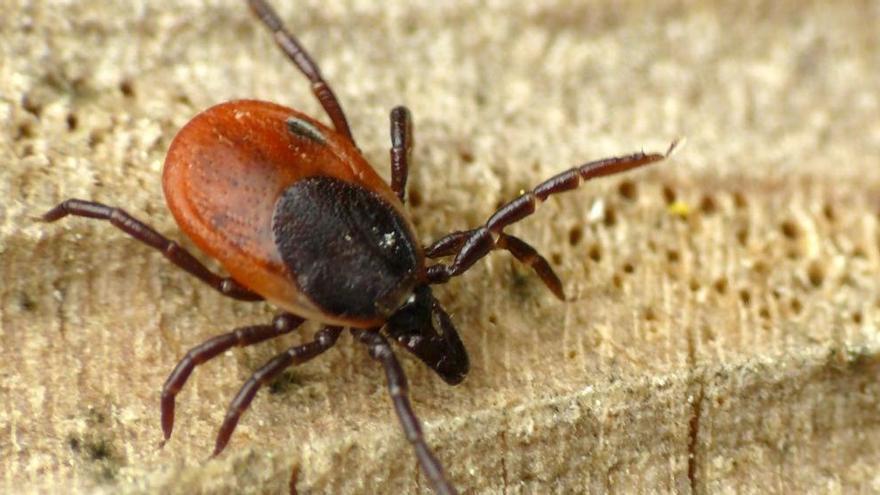 Enfermedad de Lyme: síntomas, qué es exactamente y consejos para prevenirla