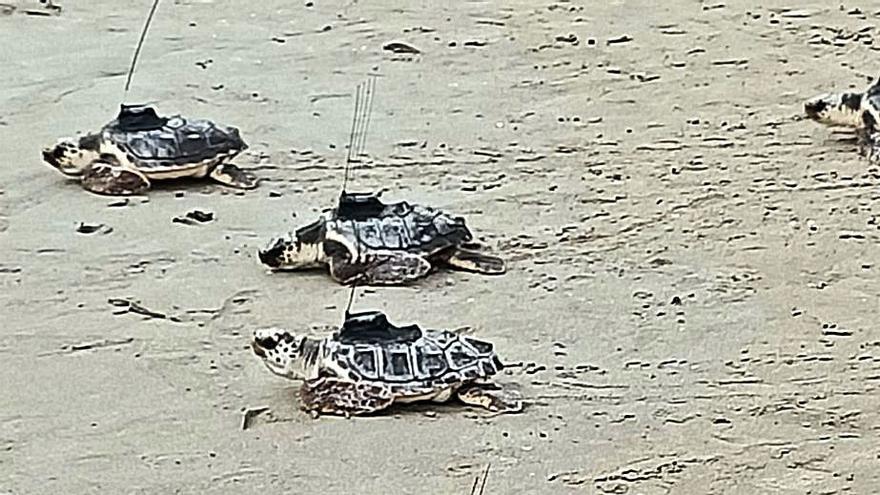 Tortugas con antena en Cullera