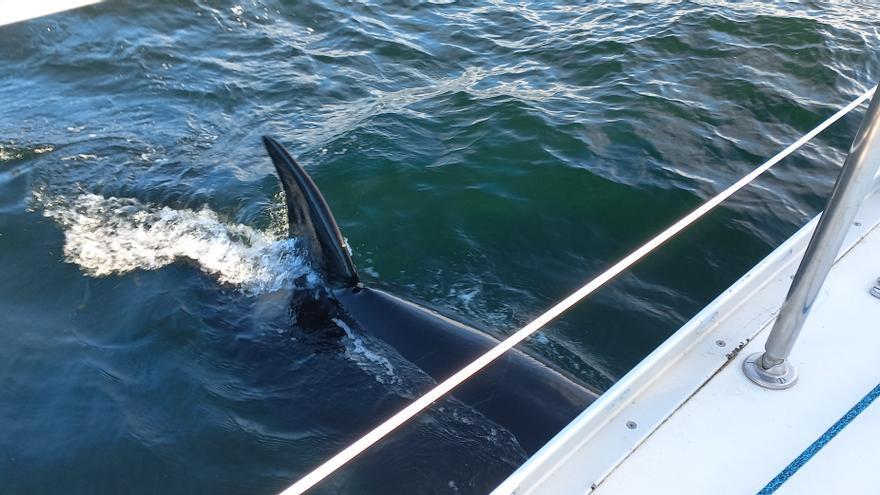 El accidentado encuentro entre un grupo de orcas y un velero inglés