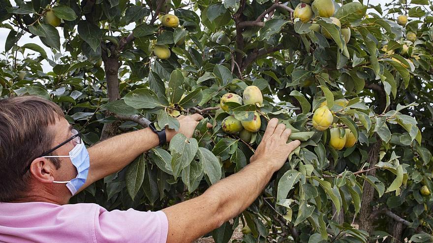 AVA calcula que el granizo ha destruido más de 20.000 toneladas de caqui y naranja