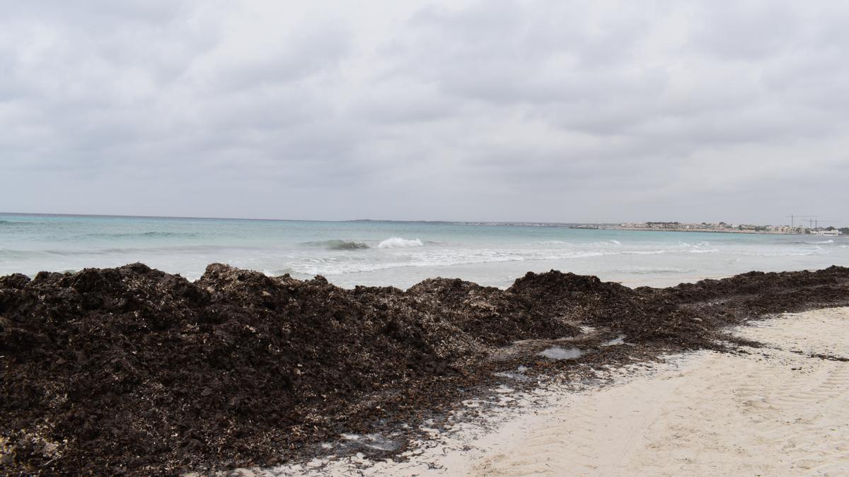 Un estudio analiza las dinámicas costeras de es Trenc