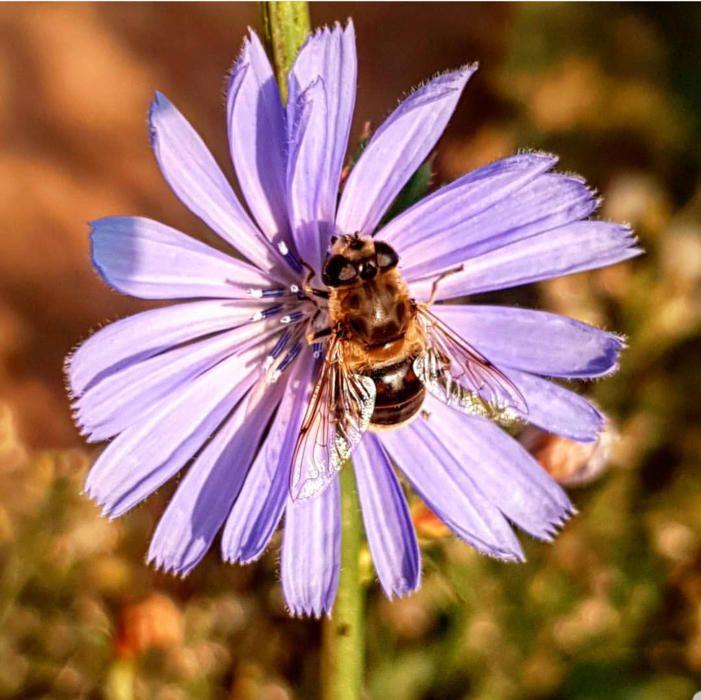 Pol·linitzar. Com podem observar, aquesta abella està treballant de valent, enfilada sobre aquesta bonica flor amb un to ben viu, ja que arriba l'època de la pol·linització.