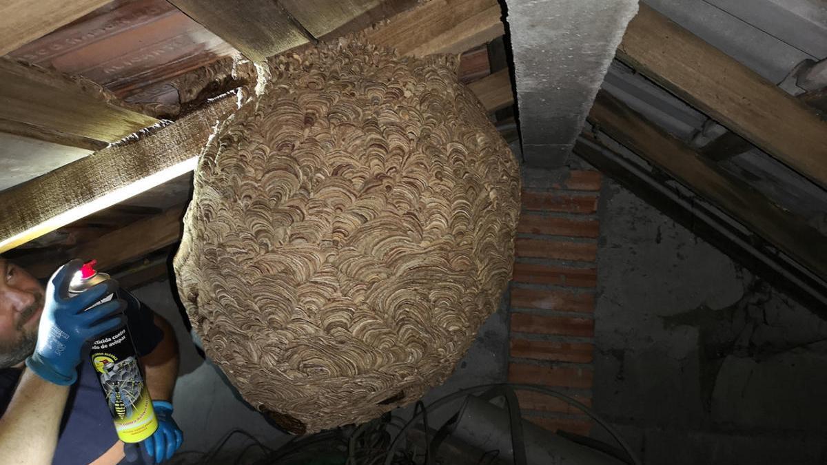 Un nido de velutina en el interior de una vivienda en Cuntis