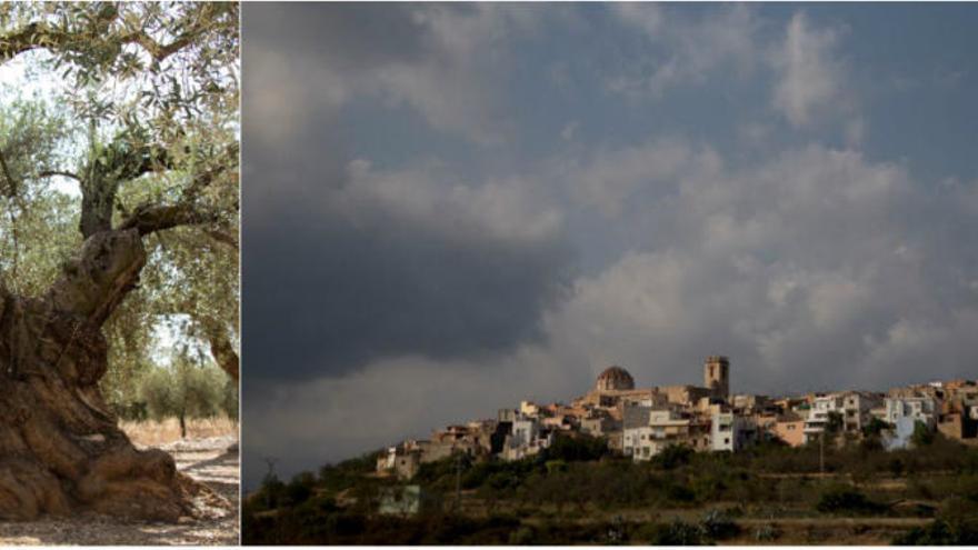 Los olivos del Maestrat: Un austero paisaje mediterráneo