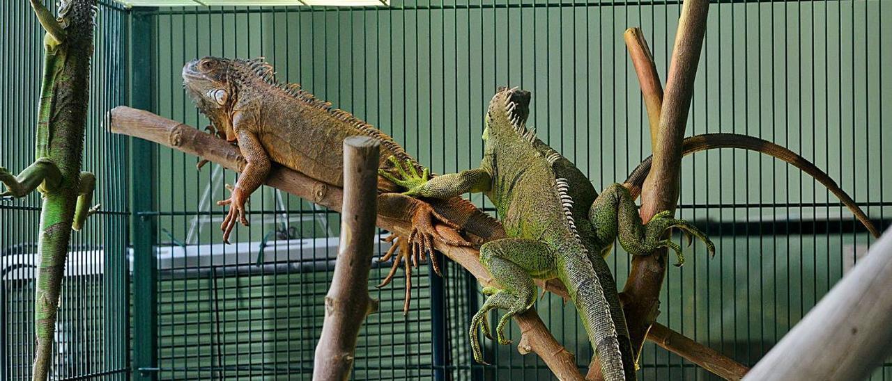 Tres iguanas del centro municipal Avifauna.  | LEVANTE-EMV