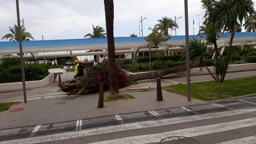 Una palmera se desploma sobre la pérgola y el banco del paseo Vista Alegre de Torrevieja