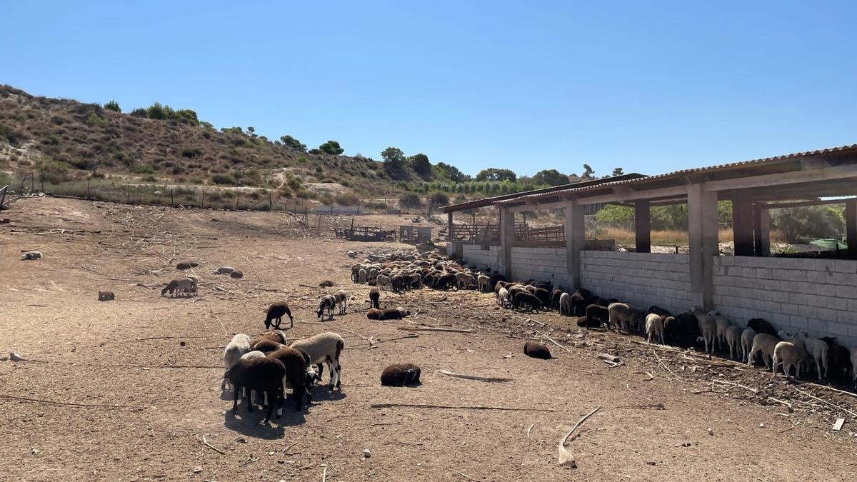 Corderos interceptados por la Policía Local en Elche