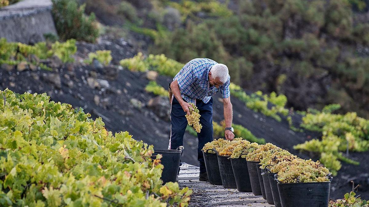 El cultivo, el proceso de recogida y la elaboración del vino es una tarea compleja que esta temporada se ha enfrentado a graves inconvenientes en la Isla Bonita.