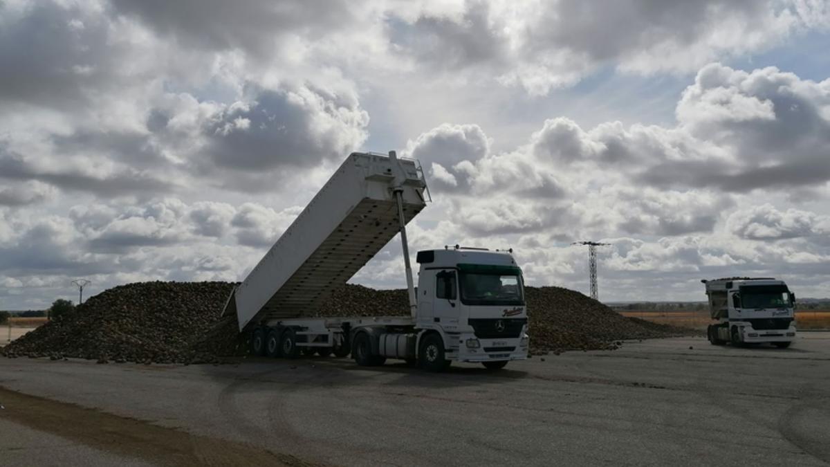 Un camión descarga remolacha en la Azucarera de Toro