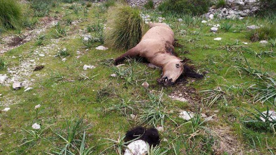 El investigado por matar a una yegua a hachazos en Pollença acumula diez antecedentes
