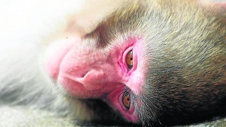 Tres monos viven libres en España