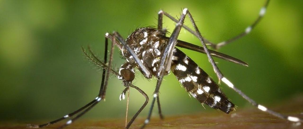 Esterilizaciones contra el mosquito tigre