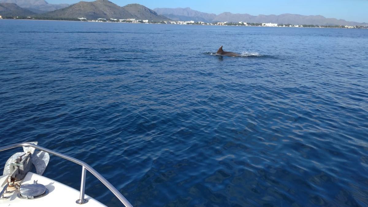 Estudian cómo afecta el ruido submarino a los cetáceos en la bahía de Alcúdia