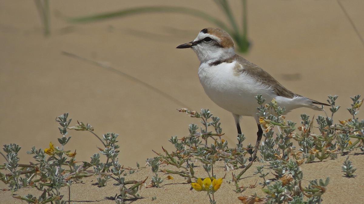 La platja del Serradal de Castelló constitueix un dels espais predilectes d'aquest ocell per a nidificar en primavera.