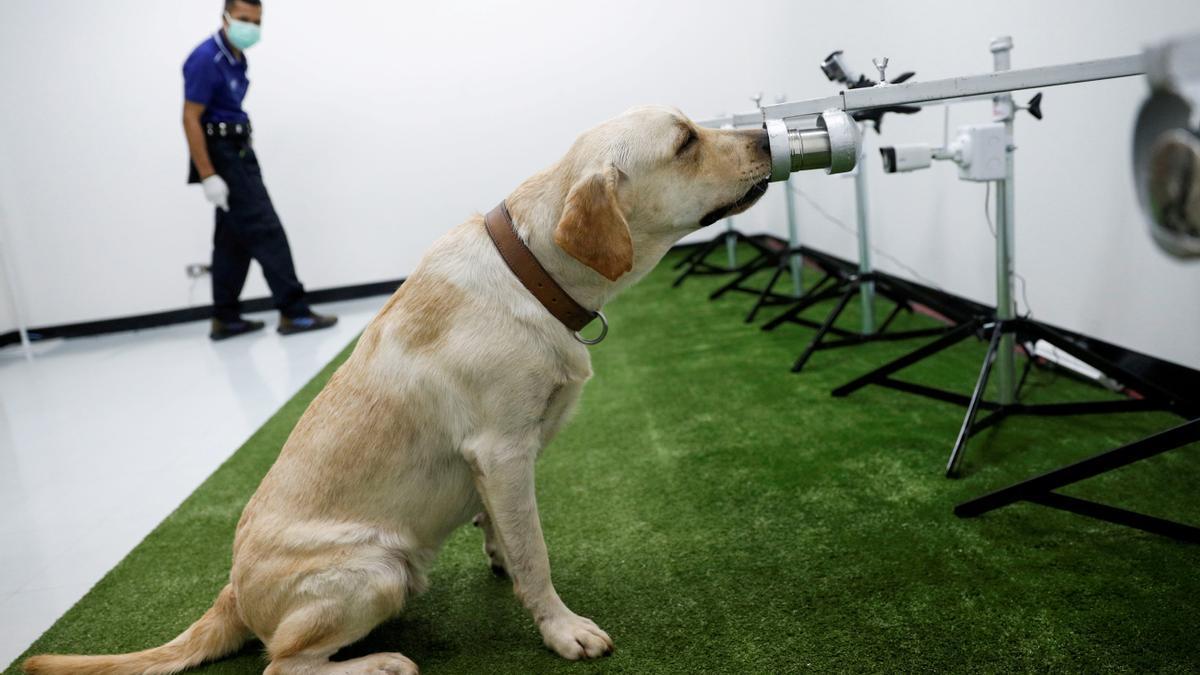 Un perro olfateando sudor para detectar coronavirus.