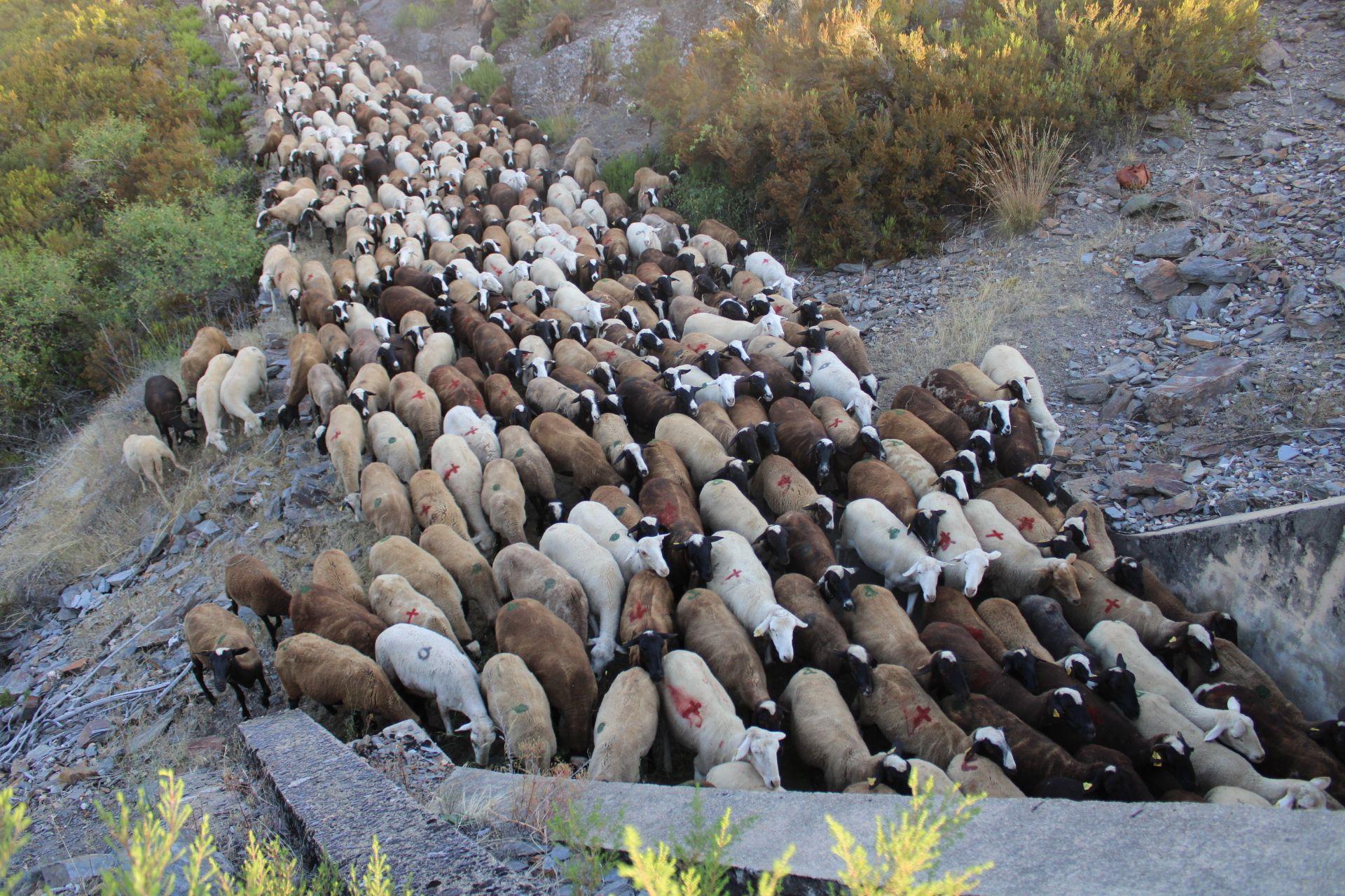 Las ovejas entran en un estrecho paso bajo la línea del ferrocarril.