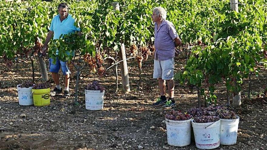 Weinlese auf Mallorca endet mit durchwachsenem Ergebnis