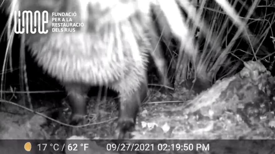 Captan por primera vez en vídeo a una nutria en el Clot en Burriana