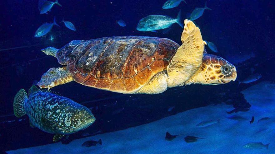 Una tortuga boba rescatada en estado crítico se recupera en Poema del Mar