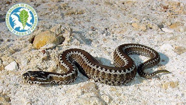 Un tipo de faneca brava dispone de un veneno similar a la víbora - La escolopendra, el escorpión nocturno, algunas arañas y el avispón, entre las picaduras más peligrosas.
