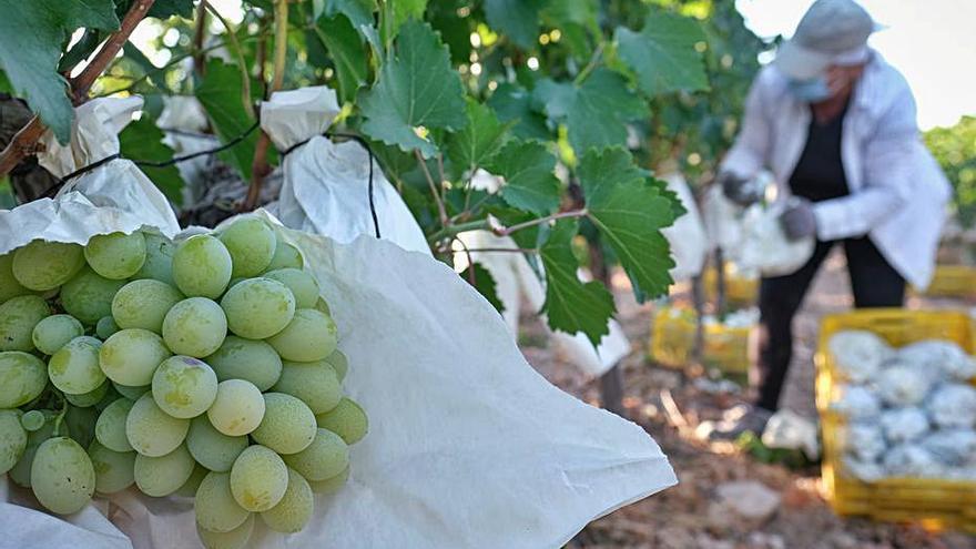 Mercadona comprará  7.200 toneladas de uva de mesa del Vinalopó durante esta campaña