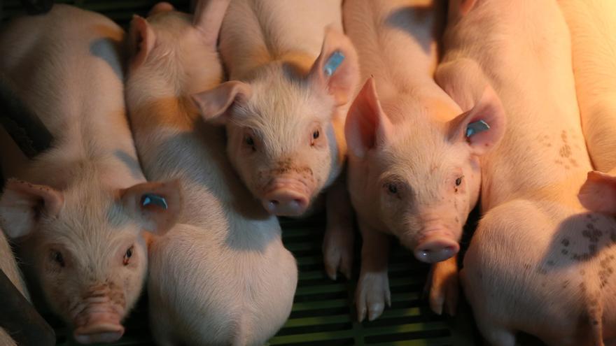 Lonja de Zamora: cae el precio de los tostones y el porcino