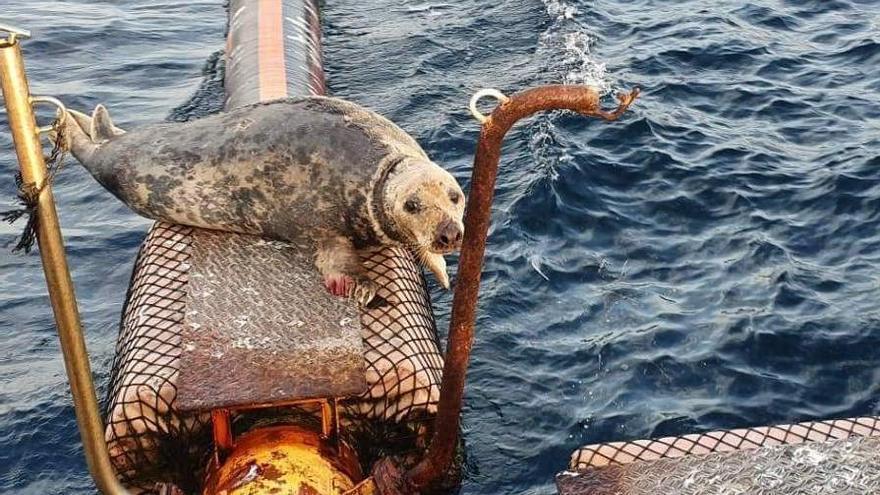 Se adentra en el mar la foca gris herida que entró en el puerto de Altea