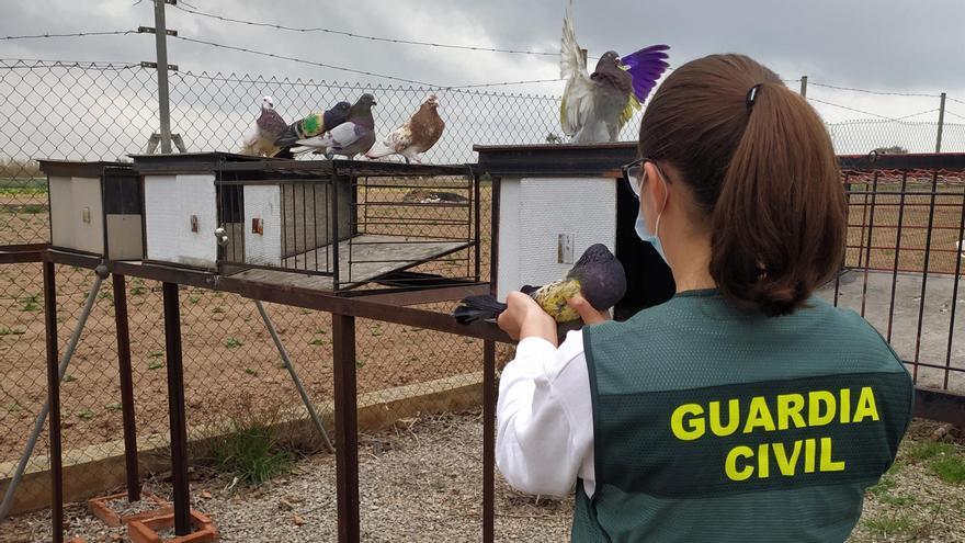 Detenidos dos menores por robar más de 100 palomos en la comarca de L'Horta Nord