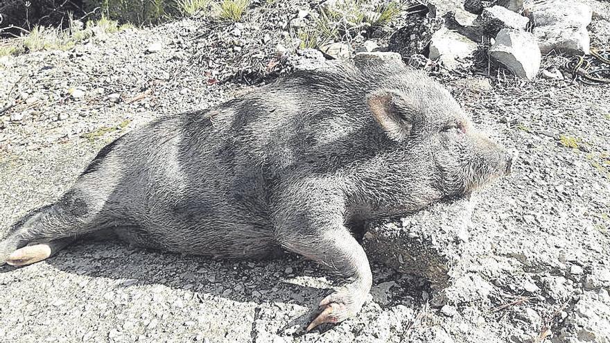 """Detectan el híbrido """"cerdolí"""" en el parque natural del Marjal de Pego-Oliva"""
