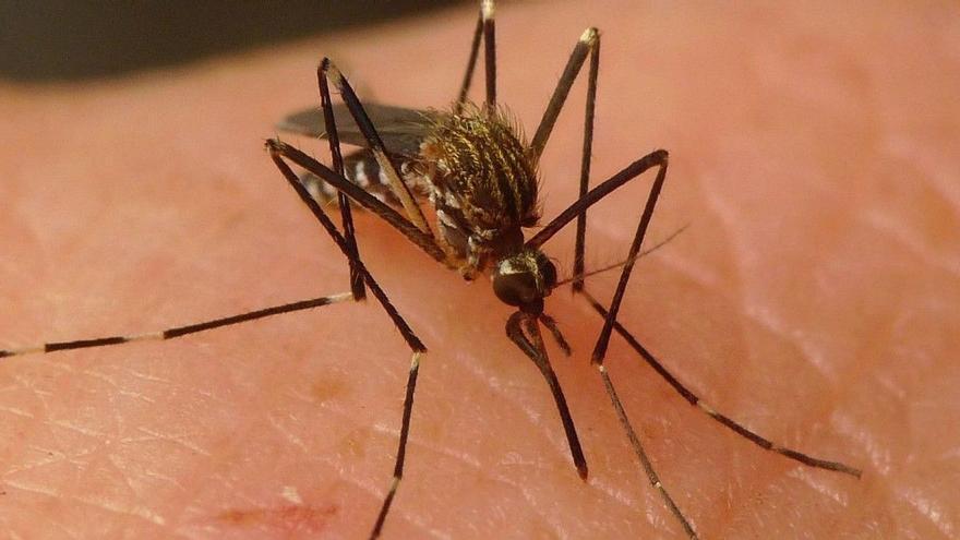 Detecten el virus del Nil Occidental en una mostra de mosquits a Catalunya
